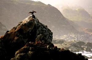 pato-negro